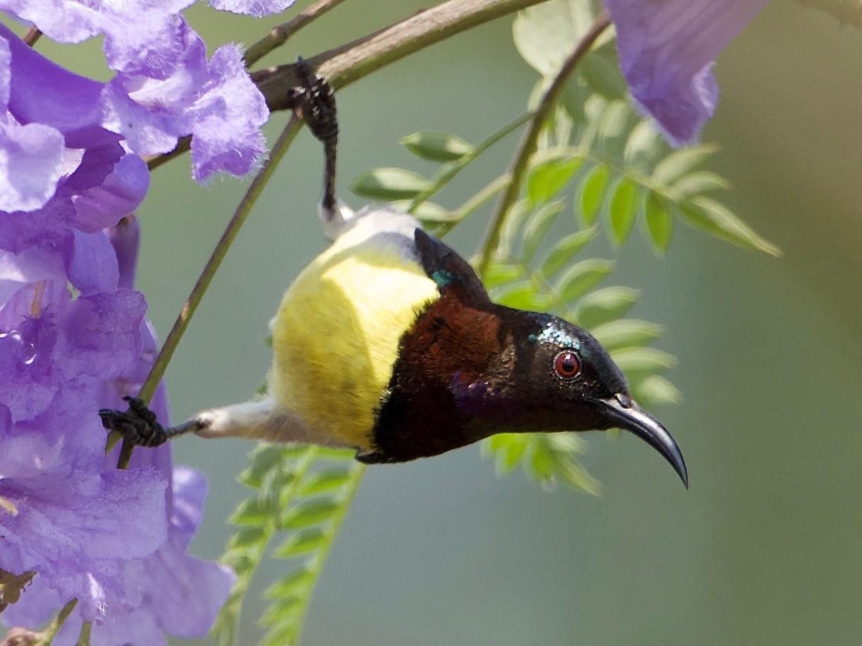 Purple-rumped Sunbird - Snehasis Sinha