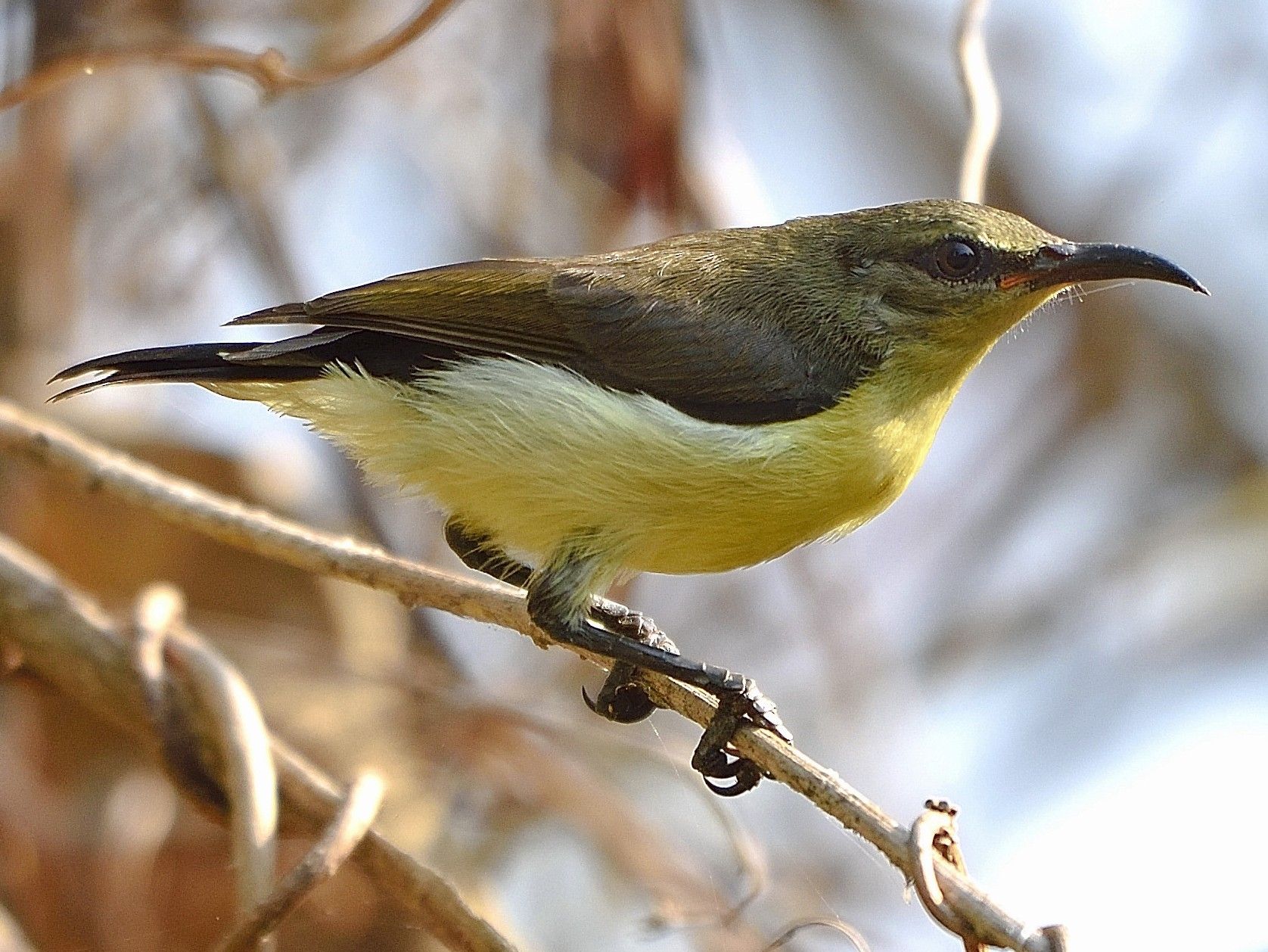 Purple-rumped Sunbird - Arun Prabhu