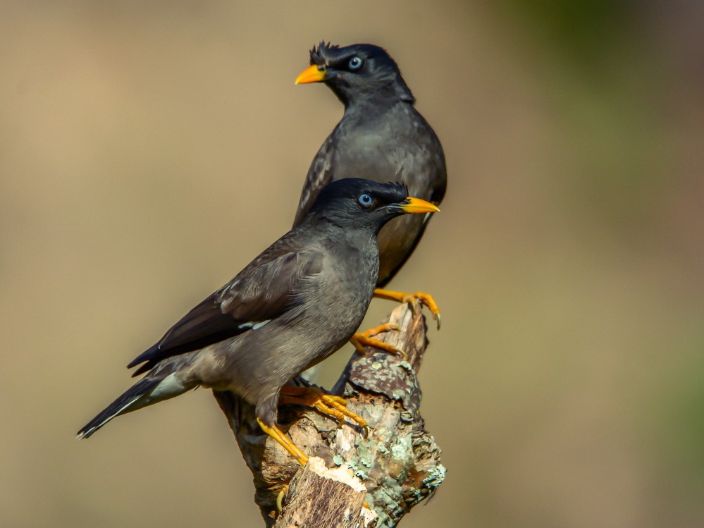 Jungle Myna - Ramesh Desai