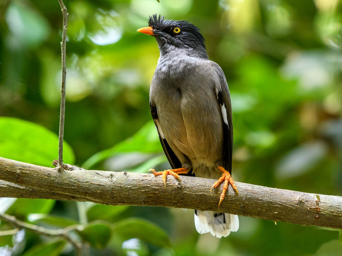 Jungle Myna - Abhishek Das