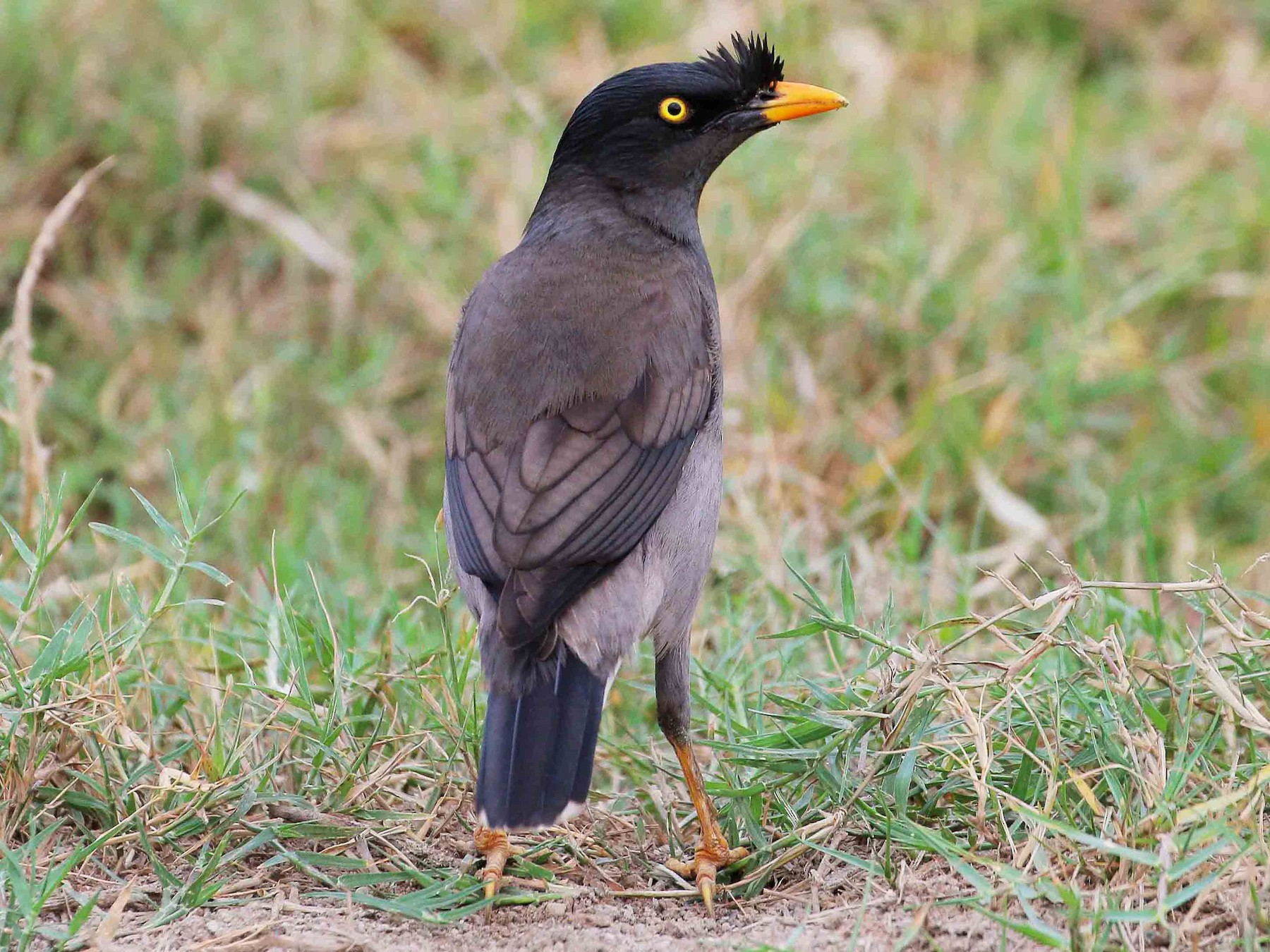 Jungle Myna - Neoh Hor Kee