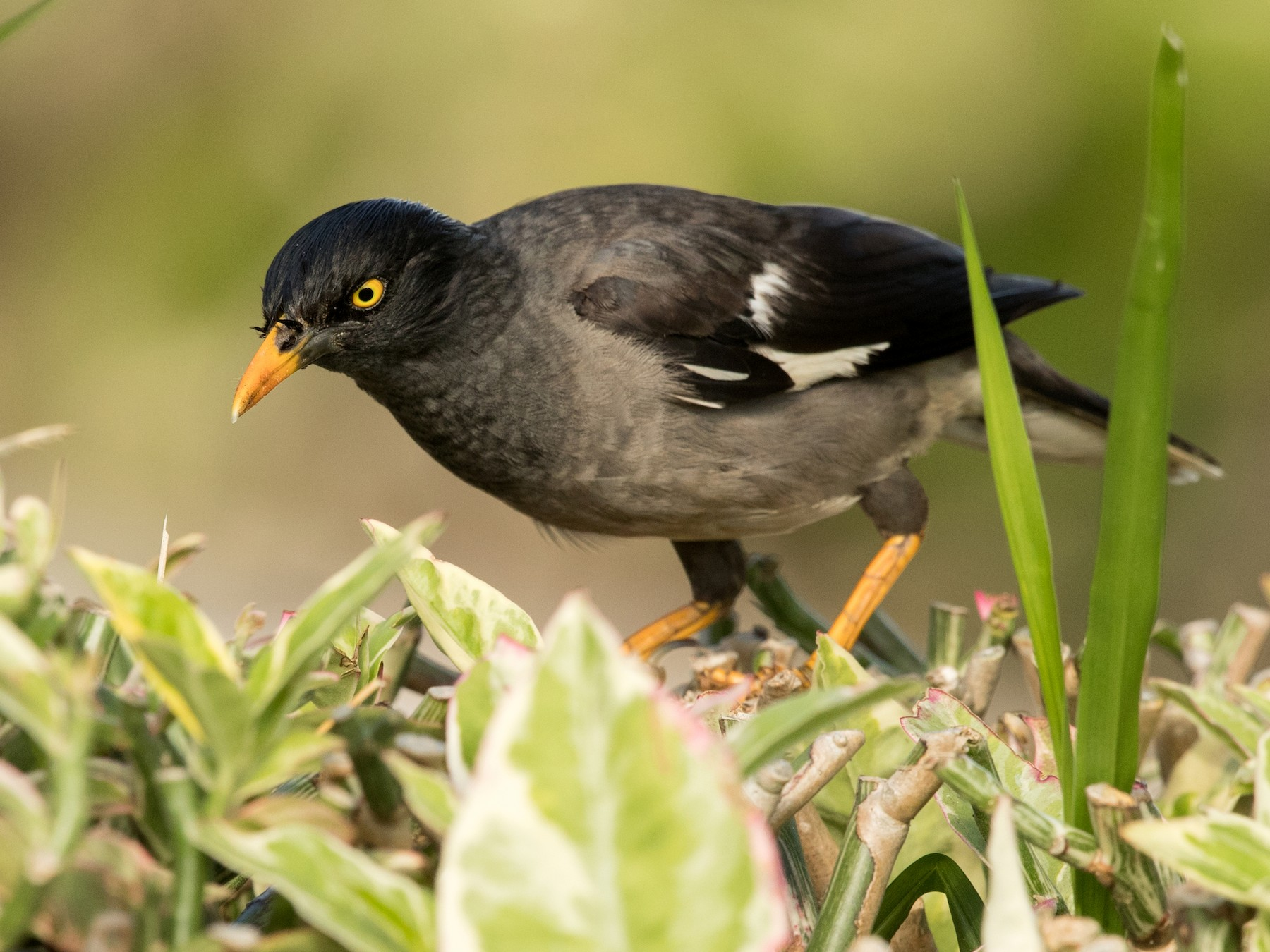 Jungle Myna - David Irving