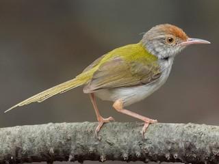 - Common Tailorbird