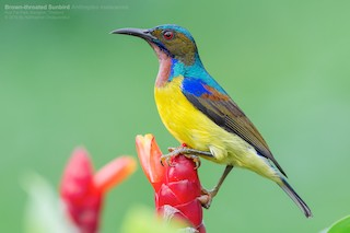 - Brown-throated Sunbird