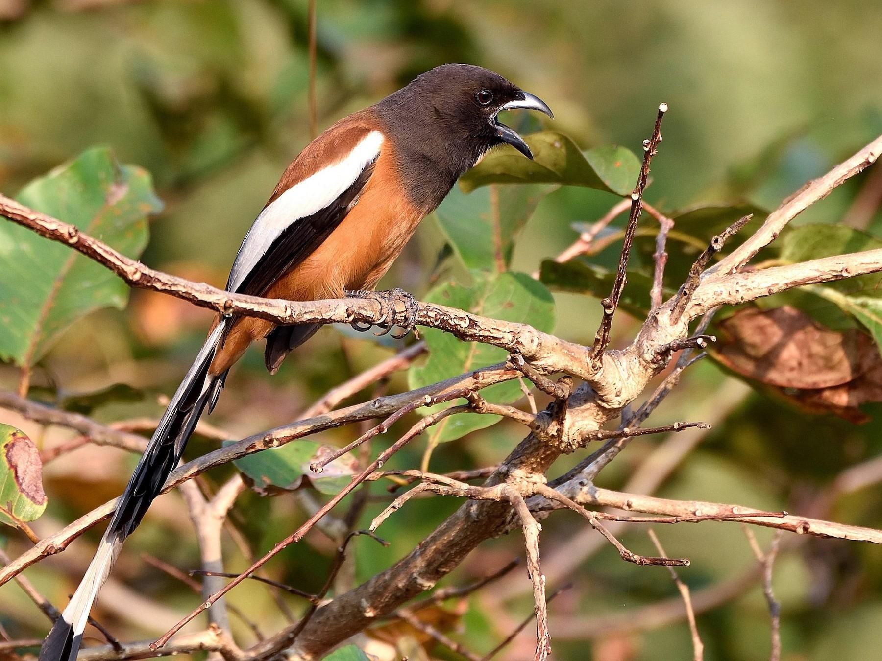 Rufous Treepie - Arun Prabhu