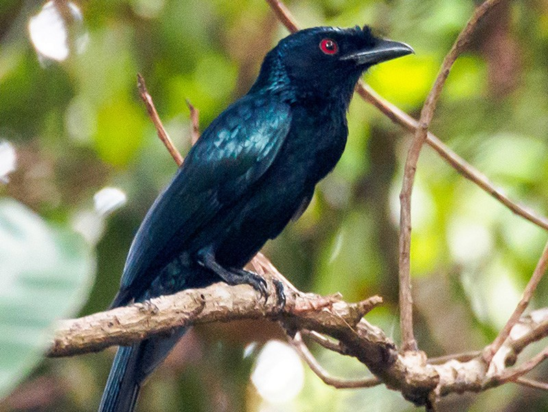 Greater Racket-tailed Drongo - Karyne Wee