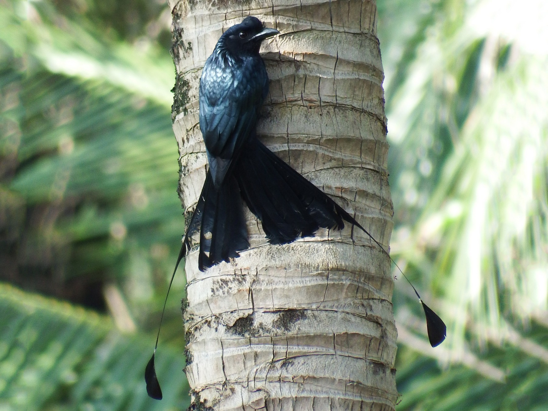 Greater Racket-tailed Drongo - Ben Weil