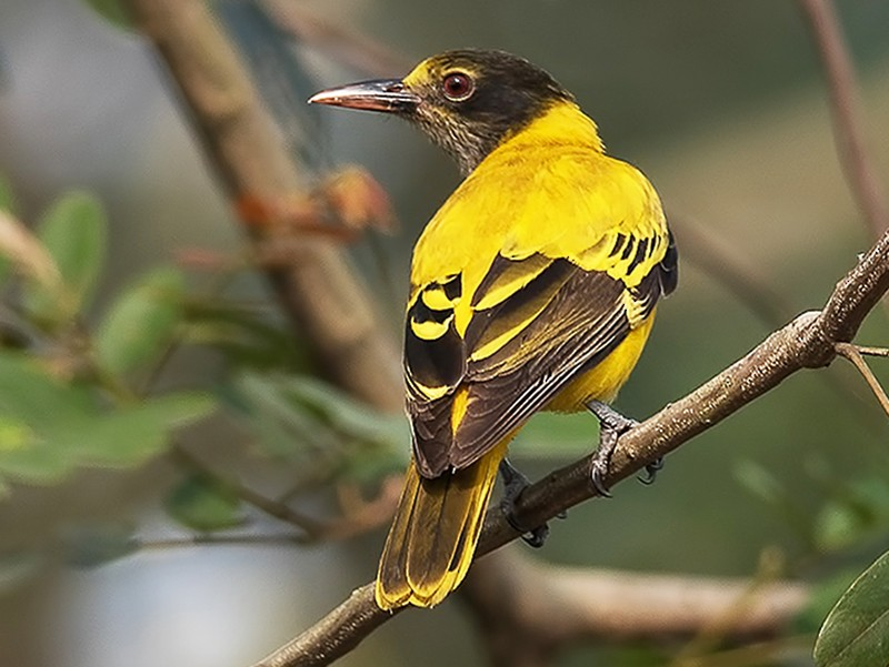 Black-hooded Oriole - Sandip Das