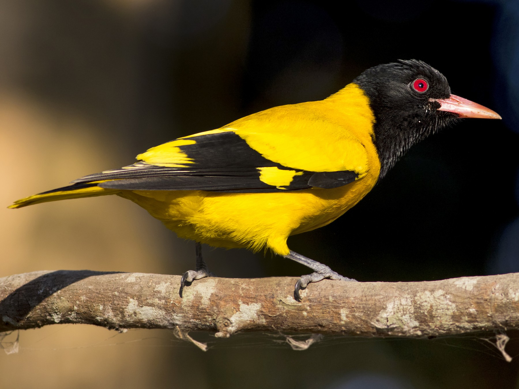 Black-hooded Oriole - Rajdeep Mitra