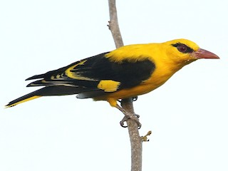 - Indian Golden Oriole