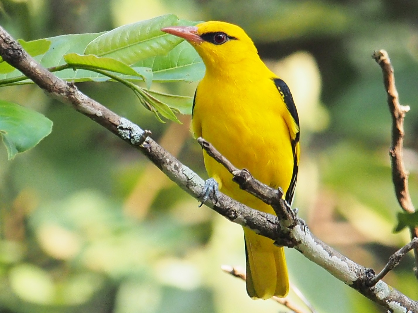 Indian Golden Oriole - Ninad Thakoor