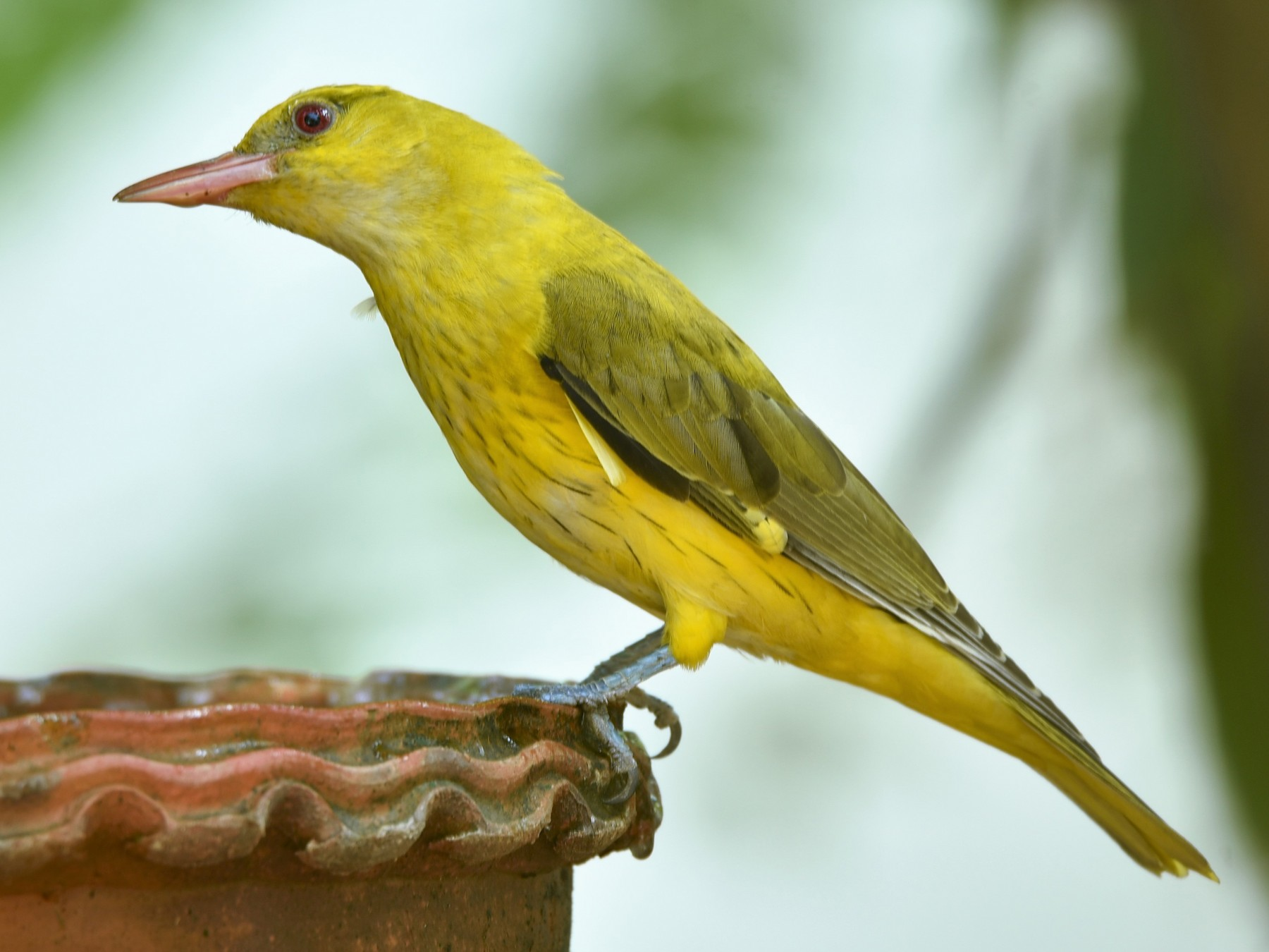Indian Golden Oriole - Sajeev Krishnan