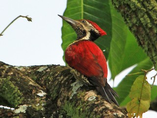 - Red-backed Flameback