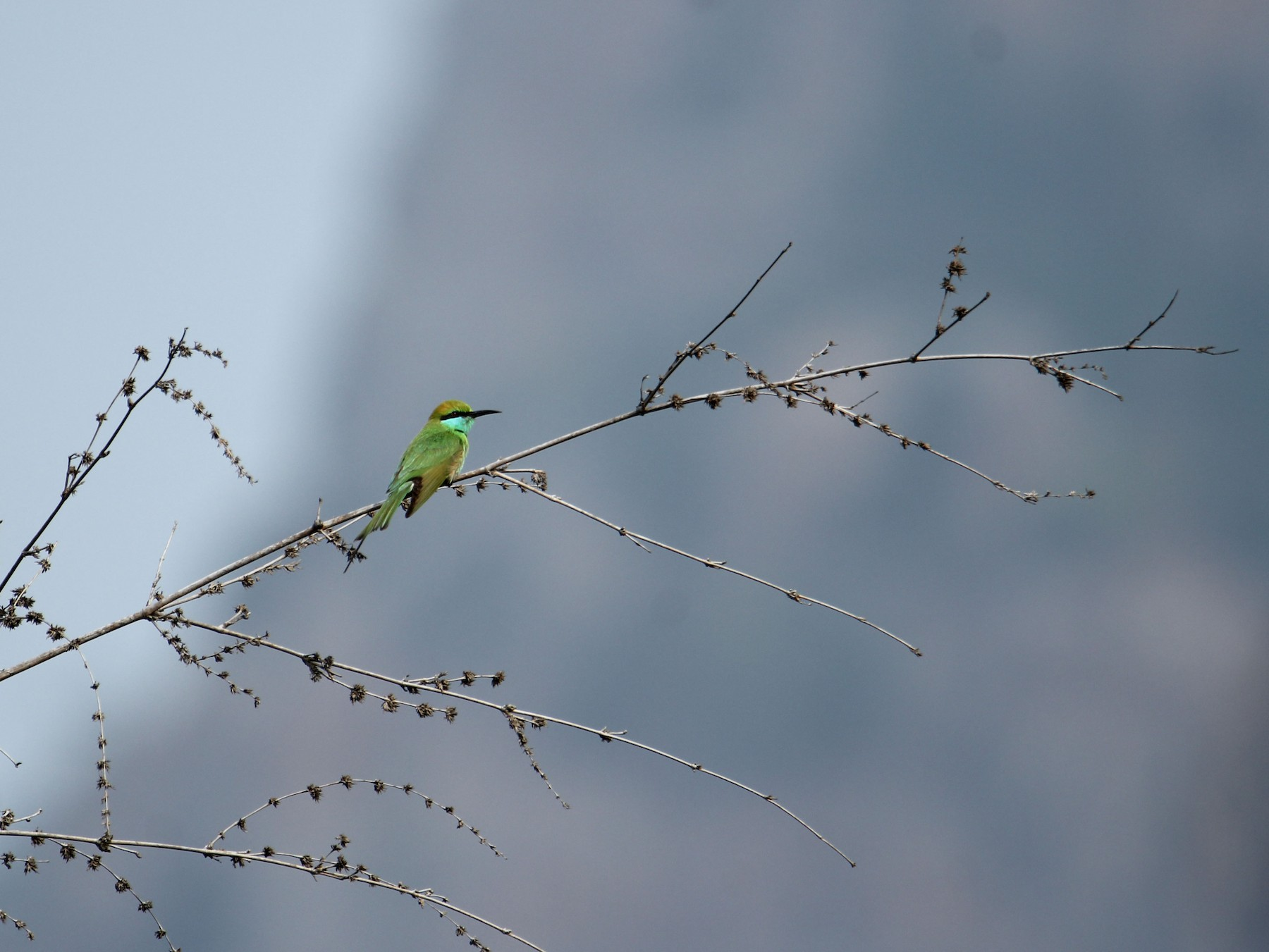 Green Bee-eater - Karthick VS
