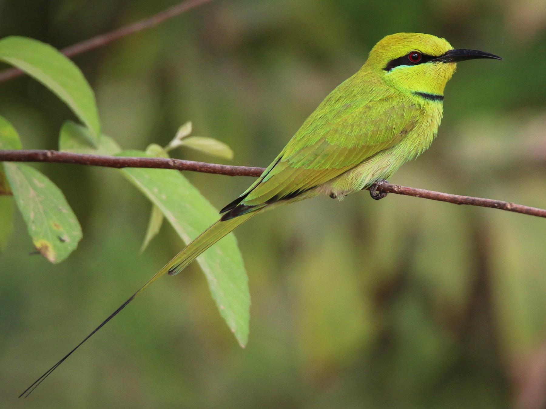 Green Bee-eater - Ian Davies