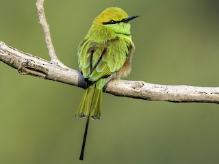 - Green Bee-eater