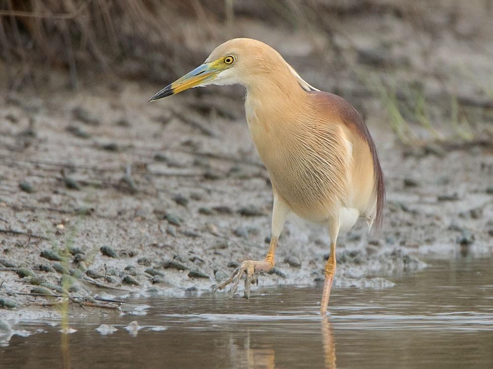 Indian Pond-Heron - Ayuwat Jearwattanakanok