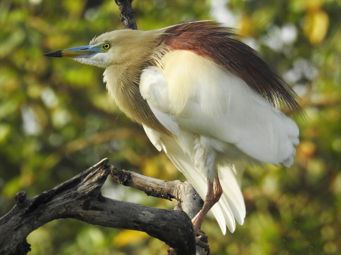 Indian Pond-Heron - Mittal Gala