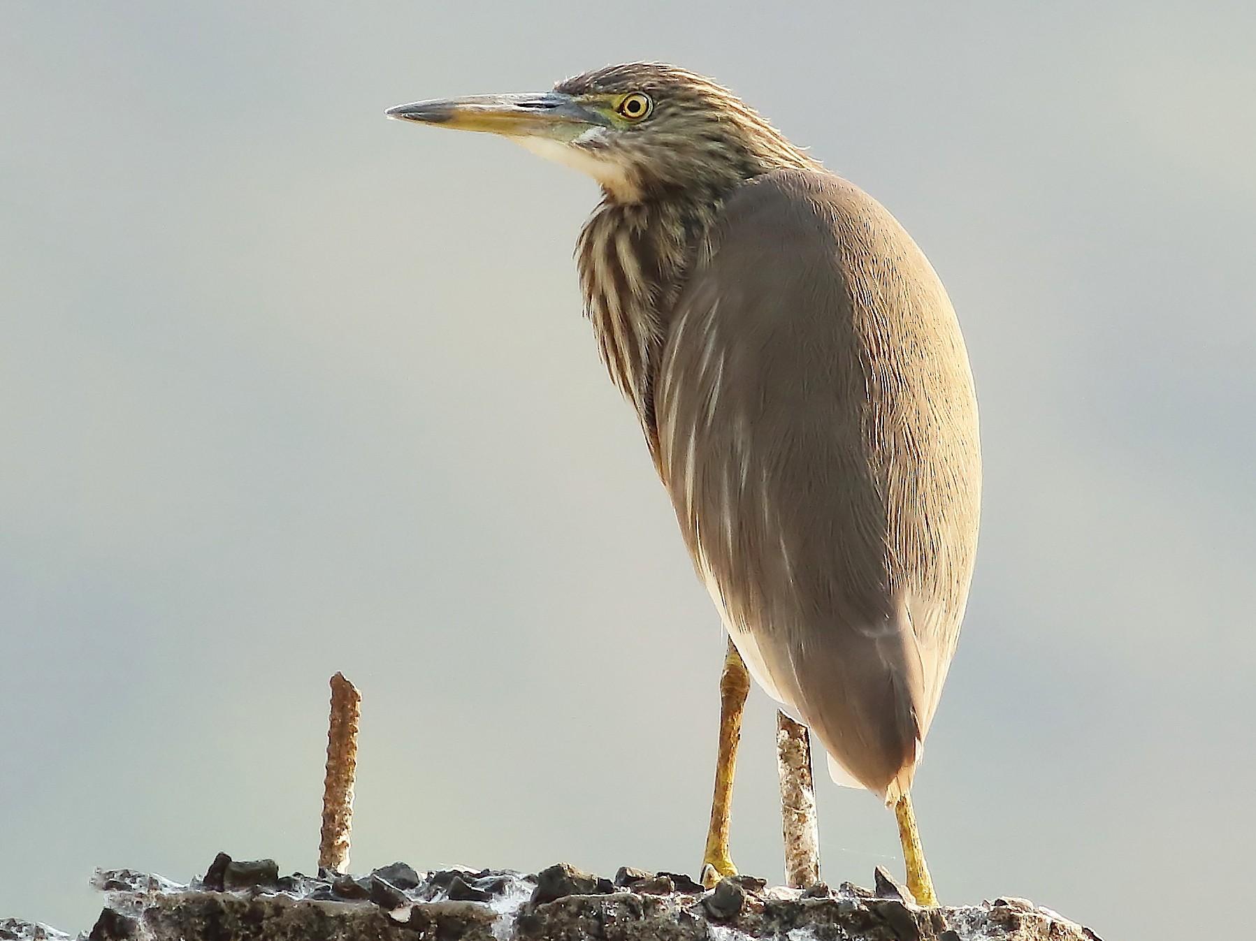 Indian Pond-Heron - Savio Fonseca (www.avocet-peregrine.com)