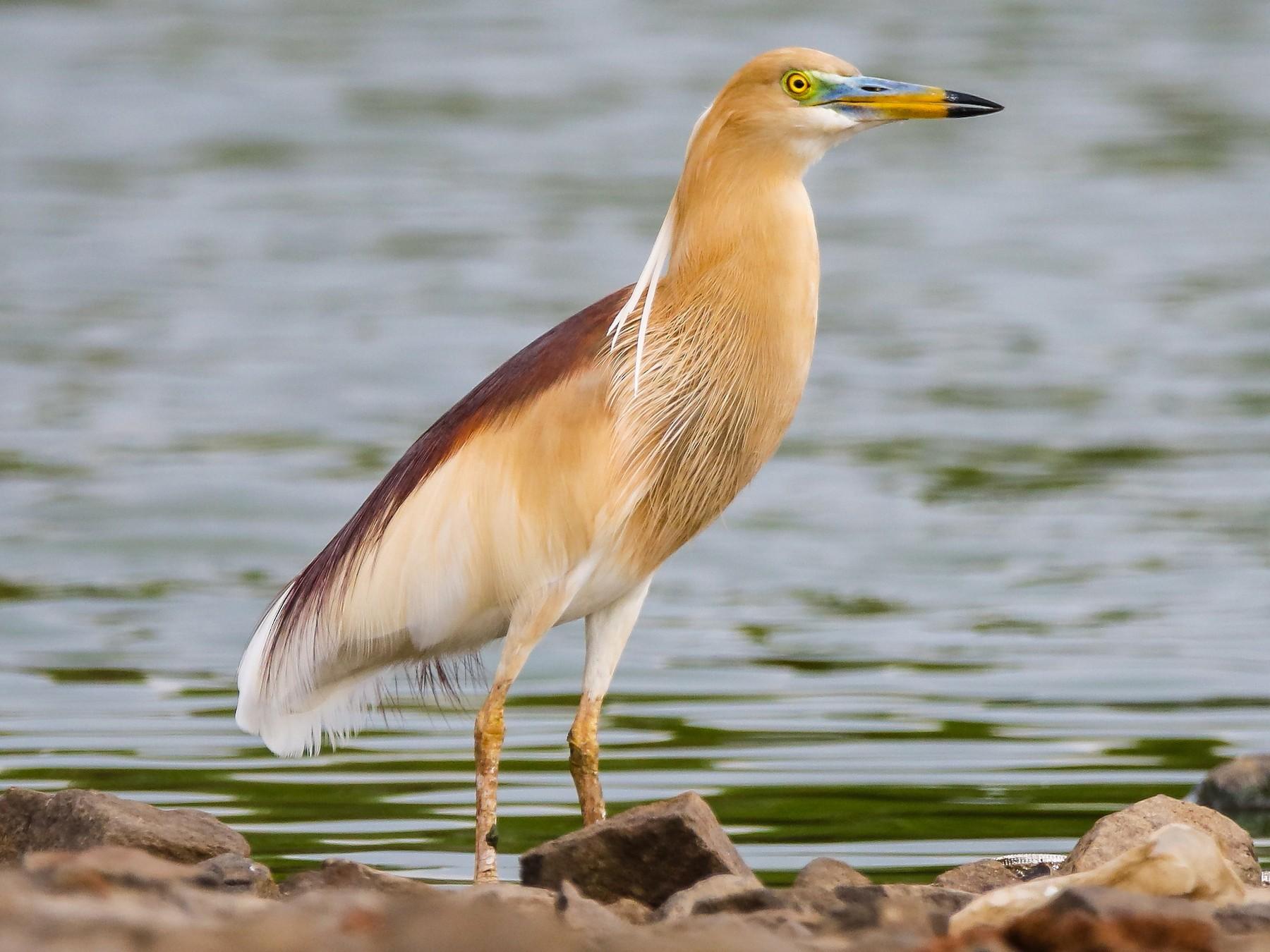 Indian Pond-Heron - Indranil Bhattacharjee