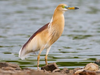 - Indian Pond-Heron
