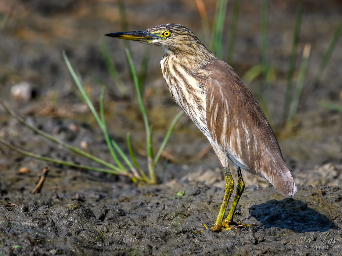 Indian Pond-Heron - Abhishek Das