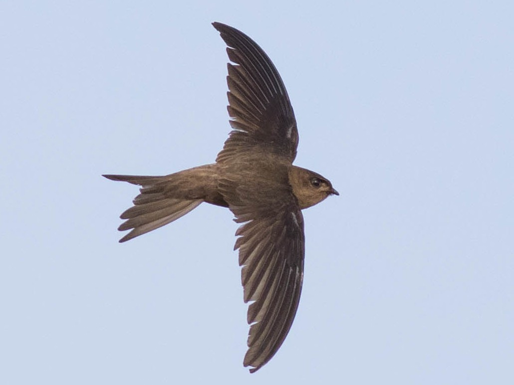 Asian Palm-Swift - Doug Gochfeld