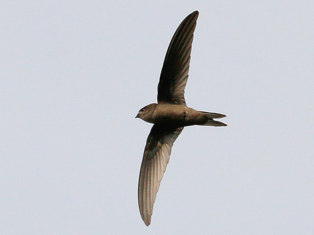 Asian Palm-Swift - Neoh Hor Kee