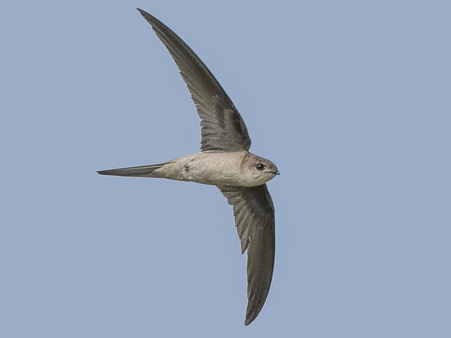 Asian Palm-Swift - P. B. Samkumar