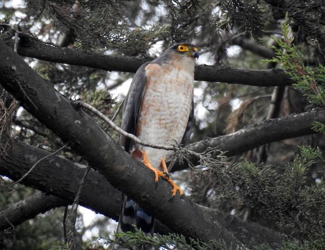 Sharp-shinned Hawk (Plain-breasted)