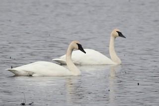 Trumpeter Swan, ML126679371