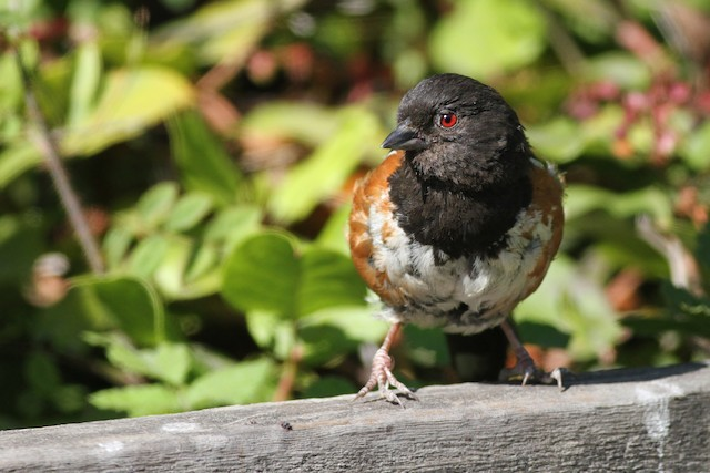 Spotted Towhee (oregonus Group)