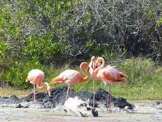 American Flamingo, ML126708981