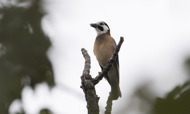 Eurasian Jay (White-faced)