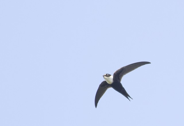 Lesser Swallow-tailed Swift