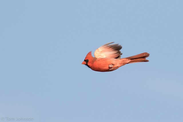 Definitive Basic male Northern Cardinal in late November.