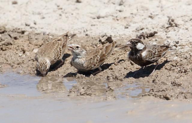 Gray-backed Sparrow-Lark