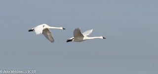 Tundra Swan, ML127130451