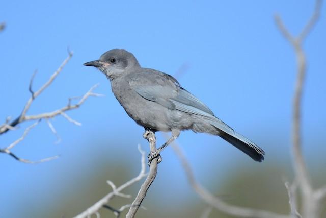 Juvenile Pinyon Jay (17 June).