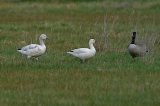 Ross's Goose, ML127395651
