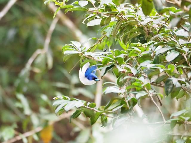 Blue Vanga foraging.