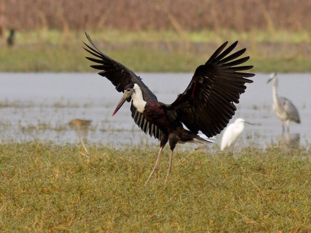 ©Frode Falkenberg - Woolly-necked Stork