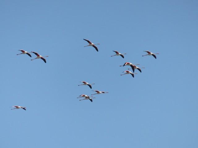 ©David Santamaría Urbano - Greater Flamingo