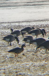 Greater White-fronted Goose, ML127728761