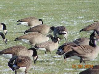 Cackling Goose, ML127773301