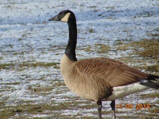 Canada Goose, ML127773431