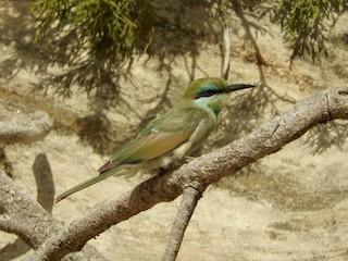 Green Bee-eater, ML127830331