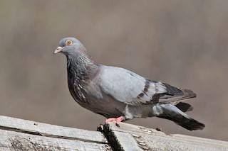 Rock Pigeon (Feral Pigeon), ML127911901