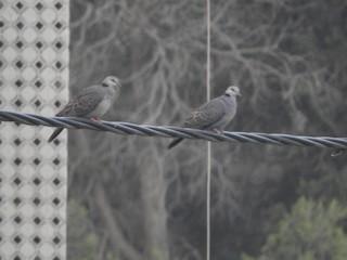 Dusky Turtle-Dove, ML127976001