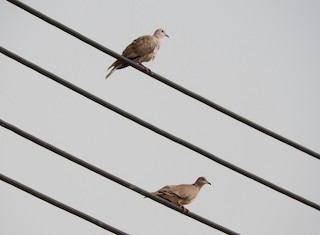 African Collared-Dove, ML127979211